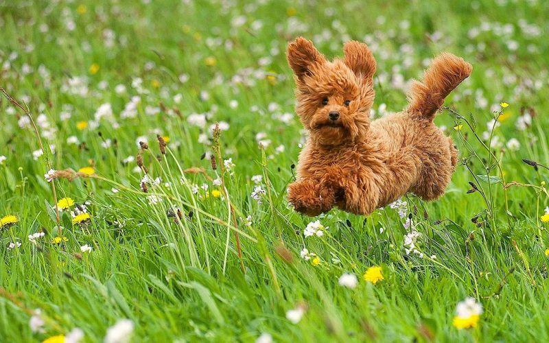 """Chó Poodle Lông Xù - """"Cục Bông Gòn Di Động"""" siêu dễ thương"""