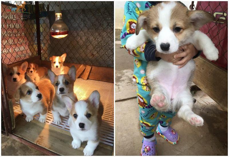 Chó Corgi Chân Ngắn: Nguồn Gốc, Đặc Điểm và Giá Mua, Bán Chó Corgi