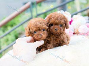 mua-ban-cho-poodle-tiny-toy-2-thang-tuoi-3