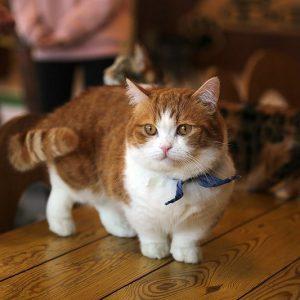 munchkin-cat-8