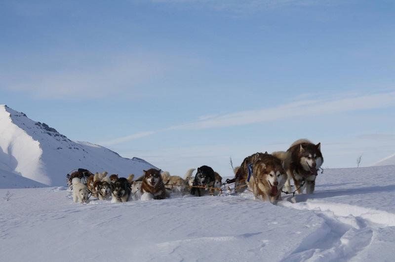 Giống chó Alaska - Đặc điểm chó Alaska | Giá mua bán chó Alaska