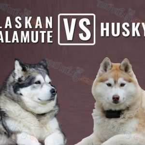 phan-biet-cho-alaska-va-cho-husky
