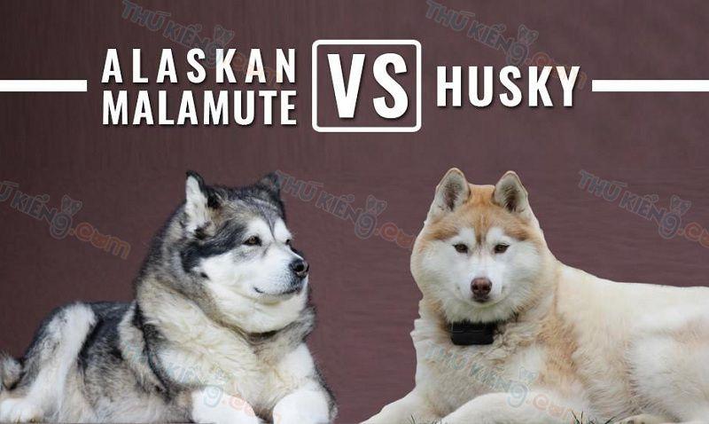 Cách Phân Biệt Chó Alaska và Husky. Alaska và Husky Khác Nhau Thế Nào?