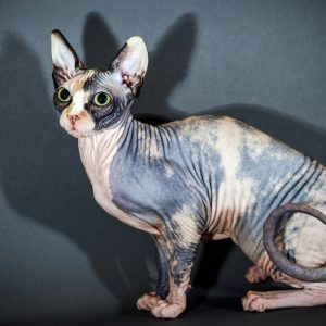 sphynx-cat-4