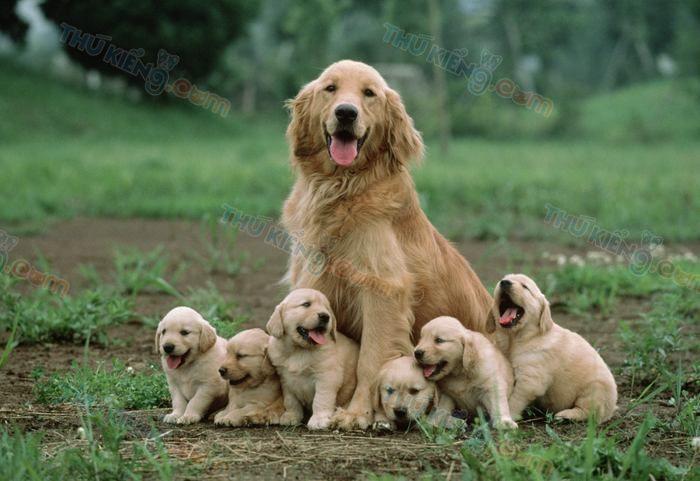 Chó bao nhiêu tháng tuổi có thể đẻ được? Một năm chó đẻ mấy lứa?
