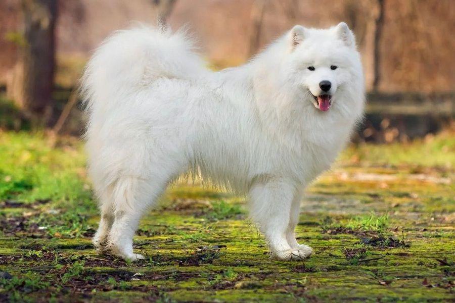 Đặc điểm giống chó Samoyed. Giá mua bán chó Samoyed thuần chủng