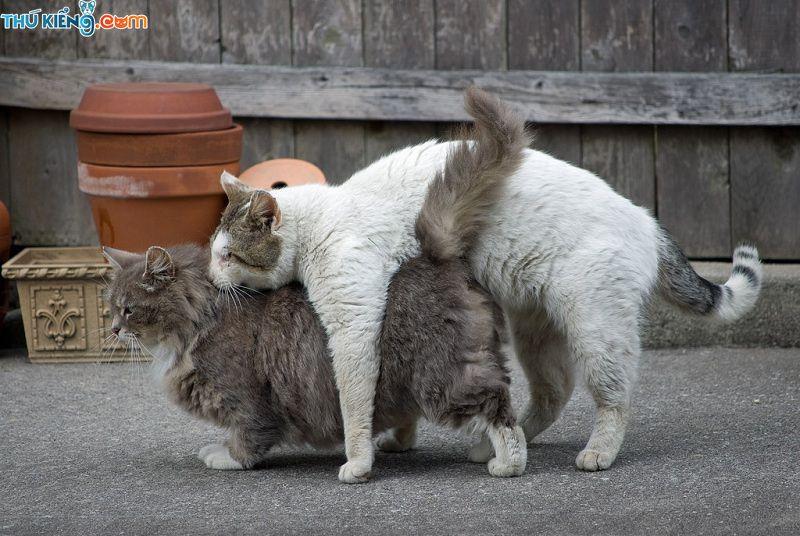 Dấu hiệu nhận biết mèo đực & cái đang động dục. Chăm sóc mèo đang salo