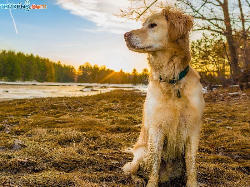 Giống Chó Golden Retriever. Chó Gâu Đần - Ưu Điểm và Nhược Điểm