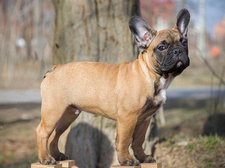 Chó Bull Pháp, chó Pug Pháp - Nguồn gốc, đặc điểm, giá chó Bull Pháp