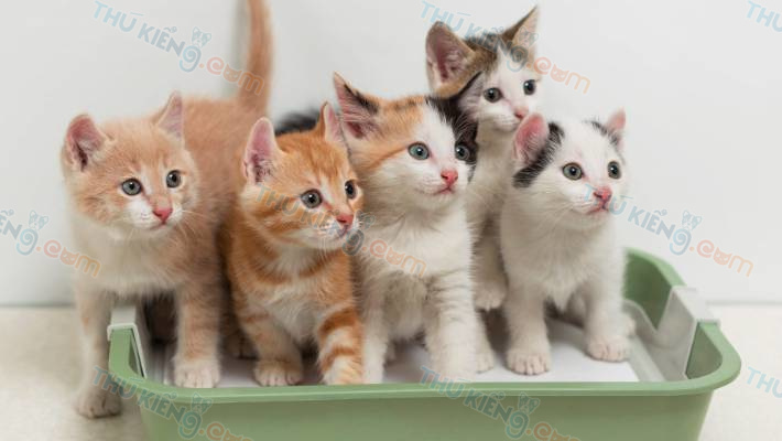 Mèo bao nhiêu tuổi thì có thể sinh sản? Một năm mèo đẻ mấy lứa?