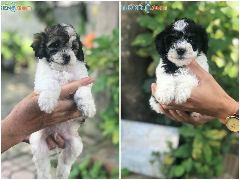 Giá Mua, Bán Chó Poodle Tháng 8/2019. Miễn Phí Vận Chuyển Toàn Quốc