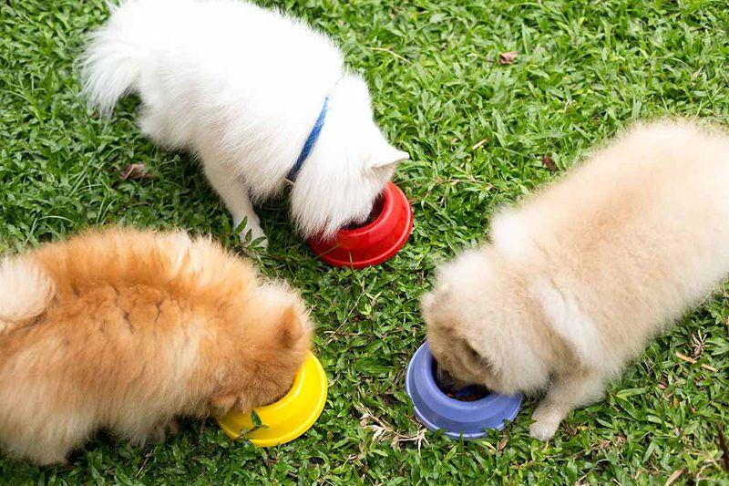 Chó Phốc Sóc ăn gì? Thức ăn hạt khô cho chó Phốc Sóc