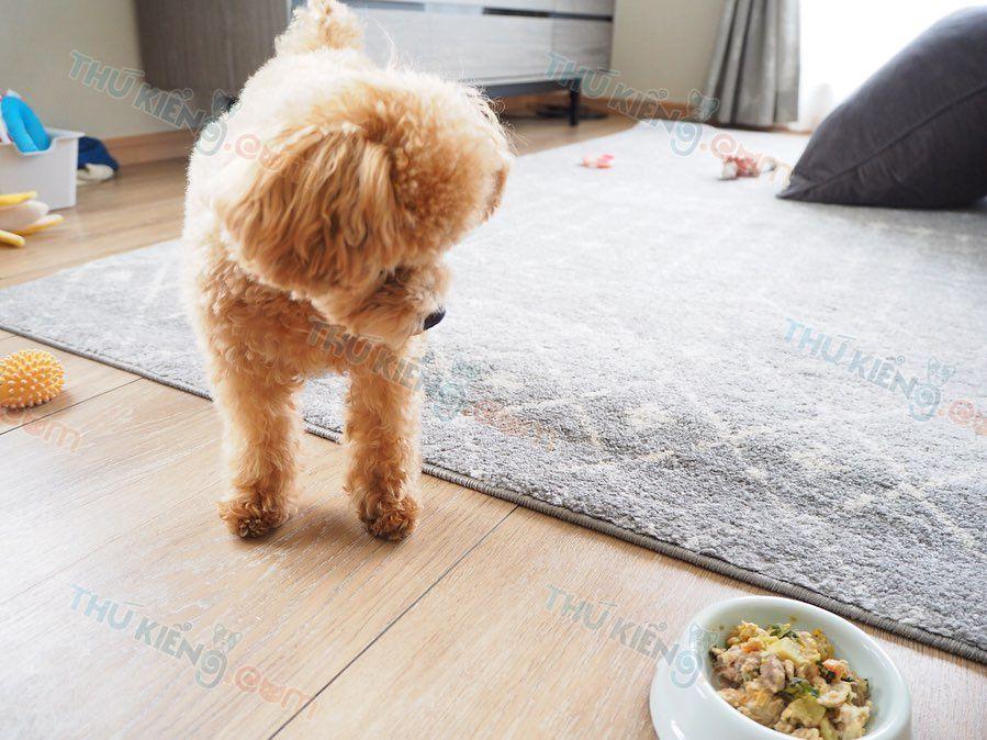 Chó Poodle ăn gì? Thức ăn cho chó Poodle con từ 2 tháng tuổi