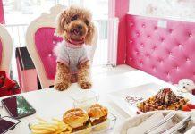 Chó Poodle ăn gì? Thức ăn cho chó. Mua, bán thức ăn cho Poodle ở đâu?