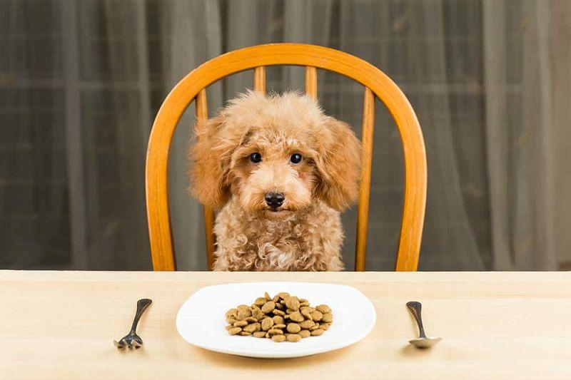 Chó Poodle ăn gì? Thức ăn cho chó Poodle loại nào tốt nhất?