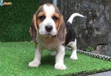 Mua, Bán Chó Beagle Tháng 10/2018. Miễn Phí Vận Chuyển Toàn Quốc