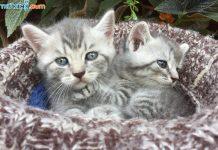 Mua, Bán Mèo Anh Tháng 11/2018.Miễn Phí Vận Chuyển Toàn Quốc
