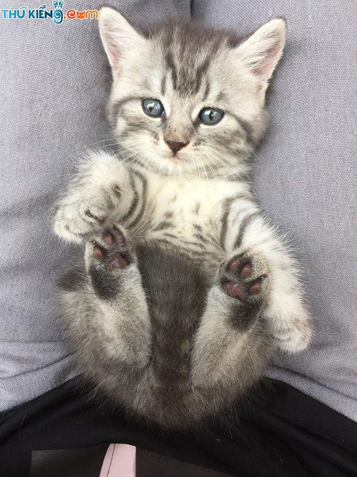 Mua, Bán Mèo Anh Tháng 5/2020.Miễn Phí Vận Chuyển Toàn Quốc