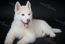 Bán Chó Husky Con 2 Tháng Tuổi. Mua Chó Husky Cần Lưu Ý Điều Gì?