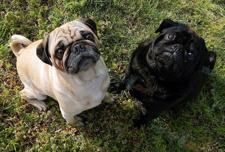 Bán chó Pug trắng, chó Pug đen con 2 tháng tuổi. Bán chó Pug trả góp
