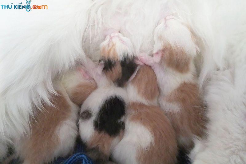 Cách nuôi mèo con mới đẻ. Nên cho mèo mẹ ăn gì để có nhiều sữa?