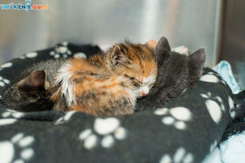 Cách nuôi, Chăm sóc, Thức ăn cho mèo con từ 1 tháng đến 2 tháng tuổi