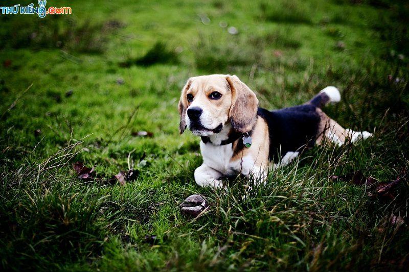Giống chó Beagle. Đặc điểm chó Bealge. Giá mua bán chó Beagle
