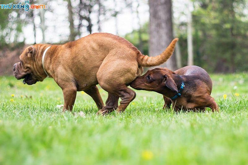 Dâu hiệu nhận biết chó đang salo. Cách chăm sóc chó đang động dục
