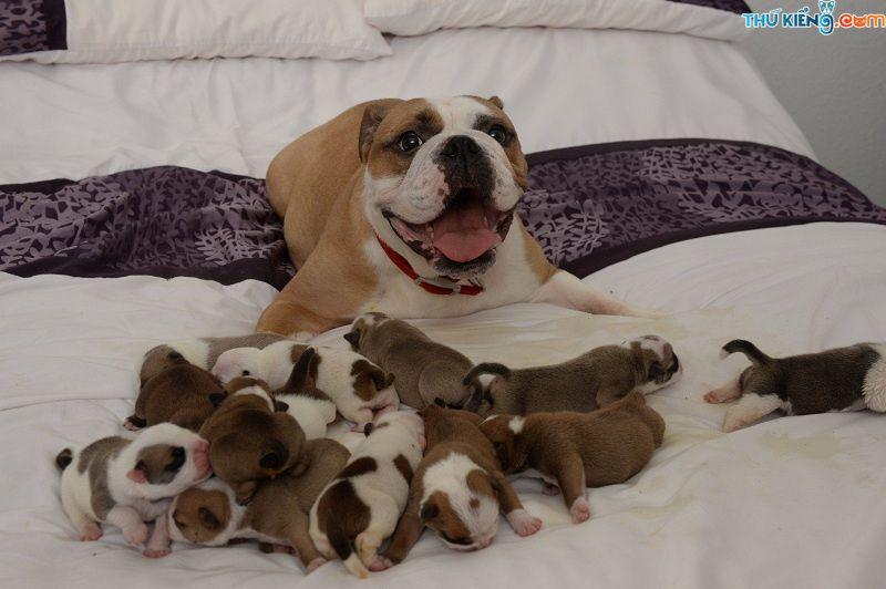 Dấu hiệu nhận biết chó sắp đẻ. Cách đỡ đẻ cho chó và Những lưu ý quan trọng