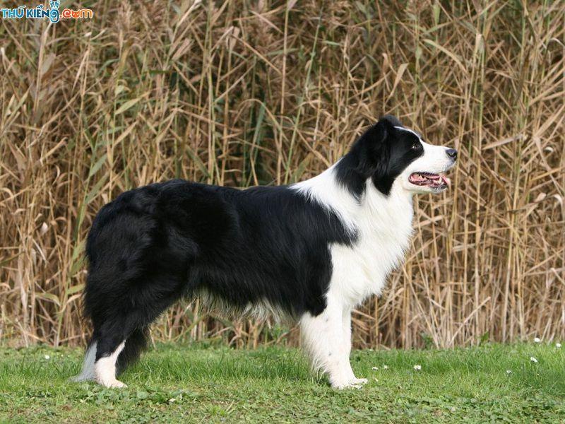 """Chó Border Collie - """"Đỉnh Cao Trí Tuệ"""" Trong Thế Giới Loài Chó"""