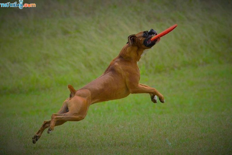 """Chó Boxer, Chó Võ Sĩ - """"Chiến binh dũng mãnh"""" trong thế giới loài chó"""