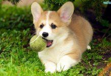 Chó Corgi - Tìm hiểu nguồn gốc, đặc điểm và Giá mua bán chó Corgi