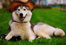 Chó Alaska - Tìm hiểu Nguồn gốc, Đặc điểm và Giá mua bán chó Alaska
