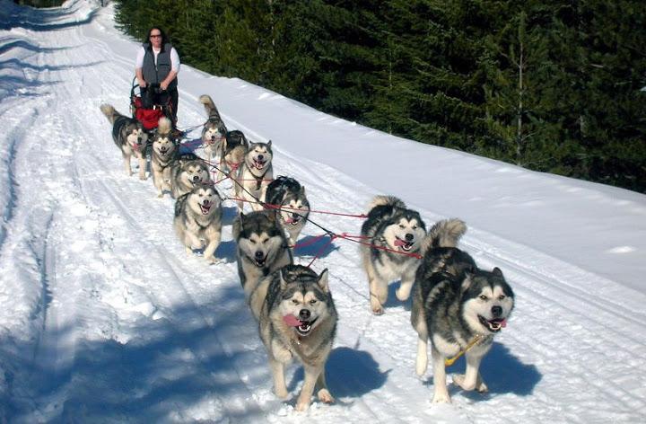 Chó Alaska, Alaskan Malamute - Nuồn gốc xuất xứ, đặc điểm chó Alaska