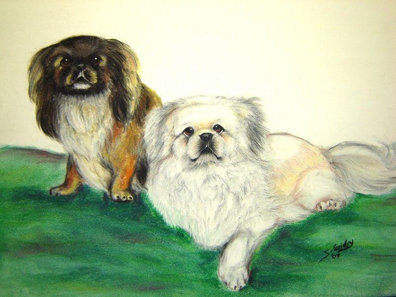 Chó Bắc Kinh & BK Lai Nhật: Nguồn Gốc, Đặc Điểm và Giá Mua Bán