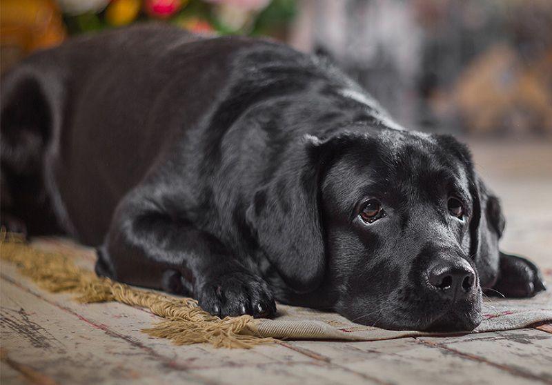 Mang thai giả ở chó là gì? Dấu hiệu nhận biết mang thai giả ở chó