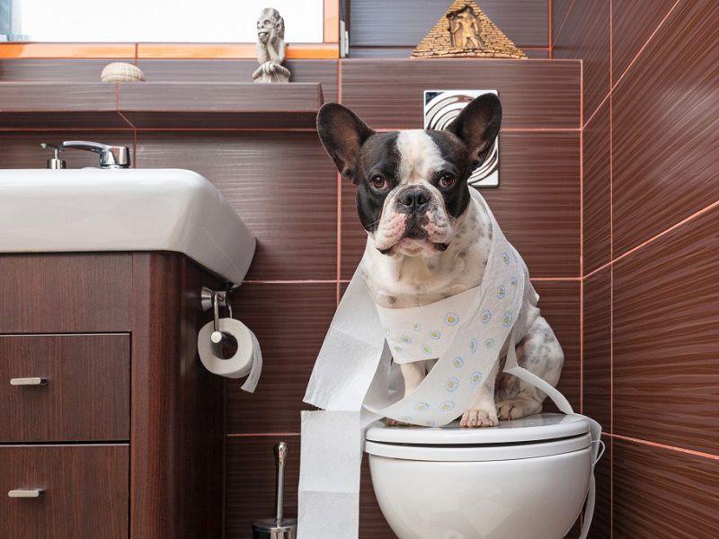 Cách huấn luyện chó đi vệ sinh đúng chỗ. Mẹo dạy chó con đi vệ sinh