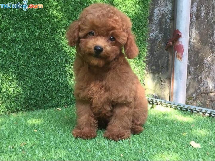 Bảng giá chó Poodle. Giá bán chó Poodle tiny, toy tại Thú Kiểng