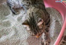 Cách Tự Làm Cát Vệ Sinh Cho Mèo Đơn Giản từ Giấy Loại và Xỉ Than
