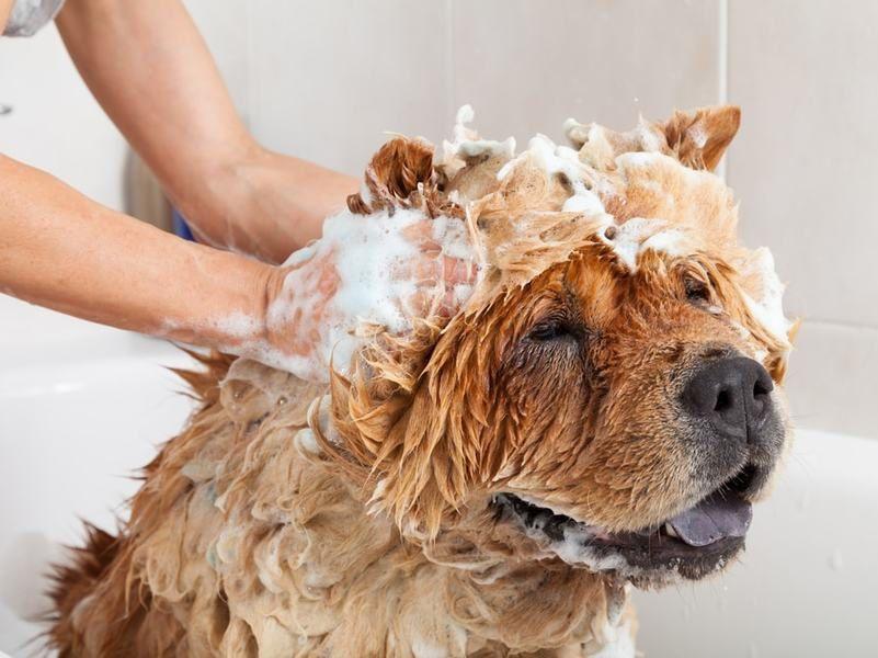 Chó mang thai có nên tắm không? Cách tắm, vệ sinh cho chó mang thai