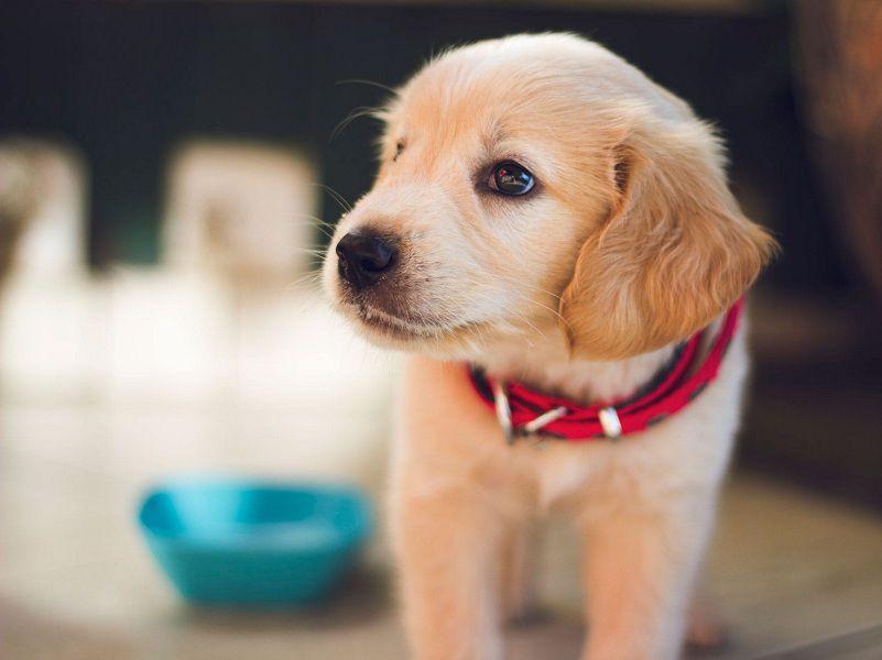 Chó bỏ ăn chỉ uống nước phải làm sao? Làm sao để chó con ăn nhiều?