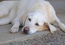 Phòng chống tụt canxi ở chó mẹ. Dấu hiệu, cách xử lý khi chó bị tụt canxi