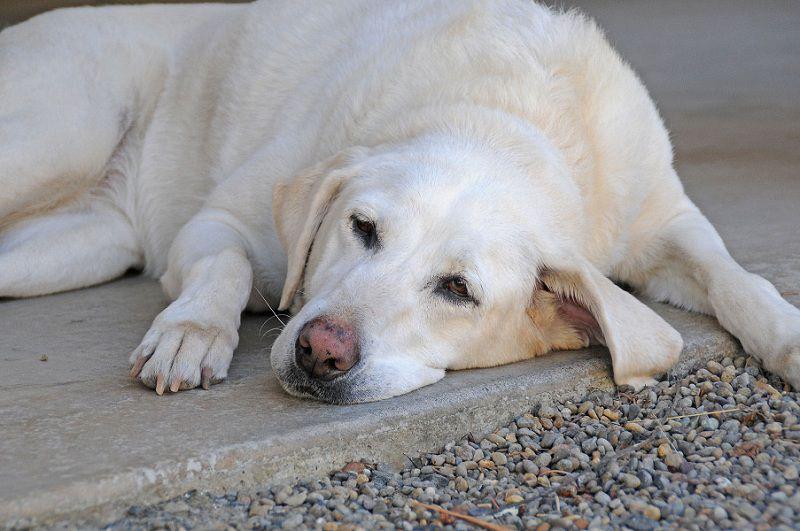 Chó thiếu canxi