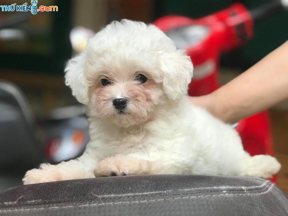 Mua, Bán Chó Poodle Tháng 12/2018. Miễn Phí Vận Chuyển Toàn Quốc