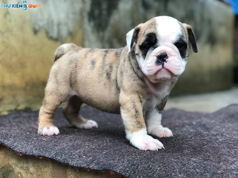 Mua chó Bulldog giá bao nhiêu tiền? Giá bán chó Bulldog Anh mặt xệ
