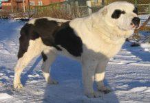 Chó Alabai - Giá mua bán chó Alabai. Đặc điểm, tính cách chó Alabai