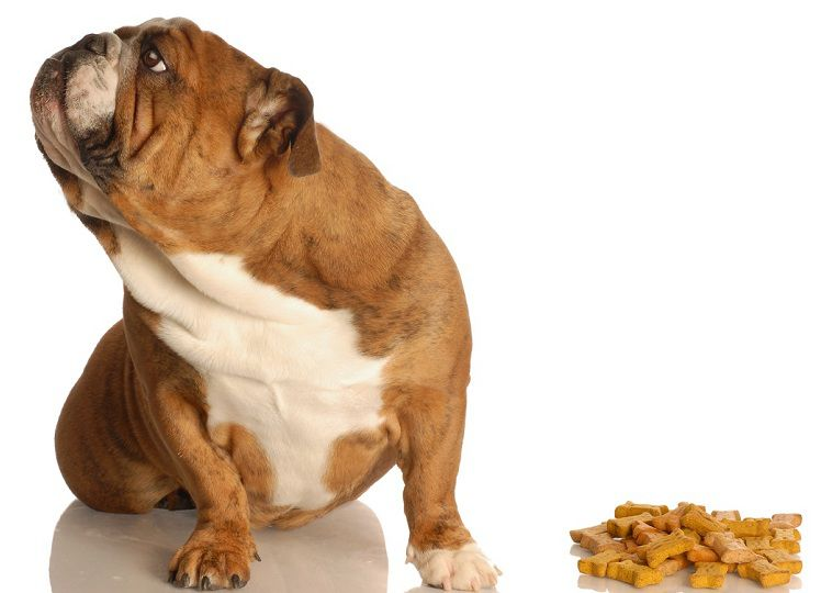 """Chó kén ăn phải làm sao? Nguyên nhân và cách xử lý khi chó """"kén ăn"""""""