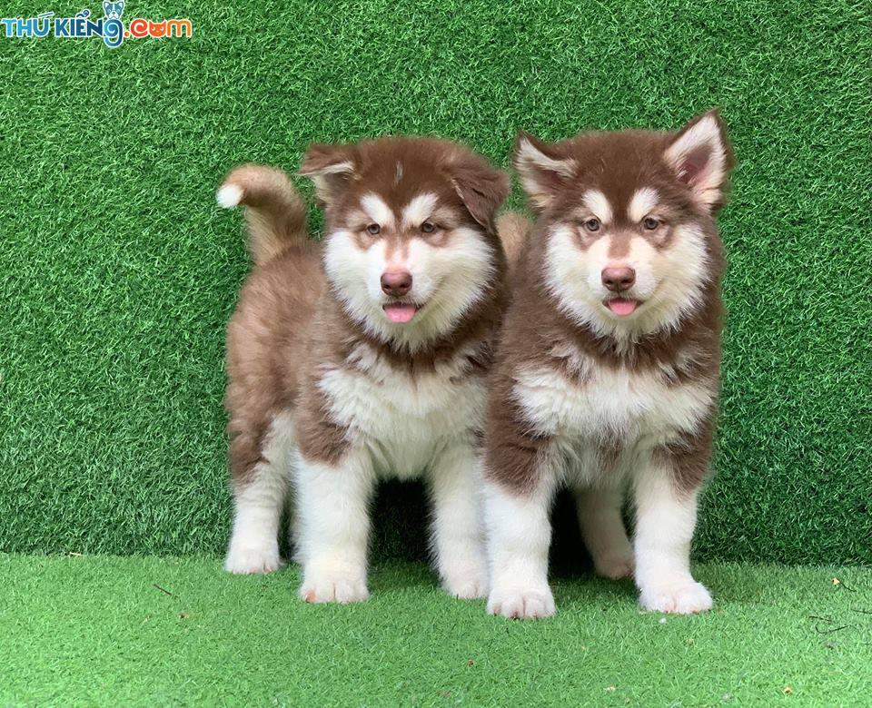 Bảng giá chó Alaska 2019. Giá mua bán chó Alaska Giant và Standard
