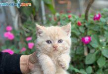 Mua, Bán Mèo Anh Tháng 1/2019. Miễn Phí Vận Chuyển Toàn Quốc