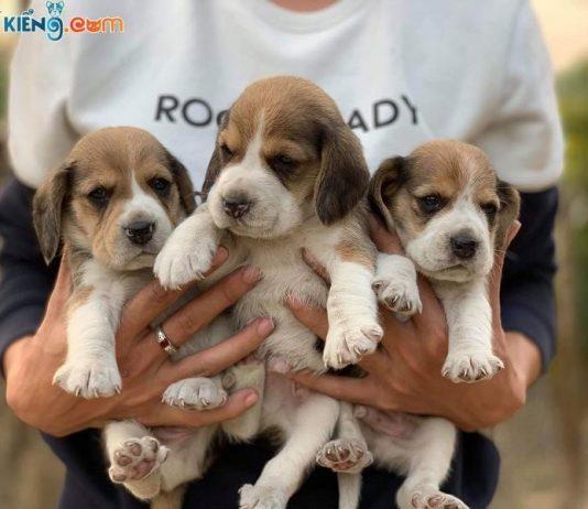 Mua, Bán Chó Beagle Tháng 1/2019. Miễn Phí Vận Chuyển Toàn Quốc